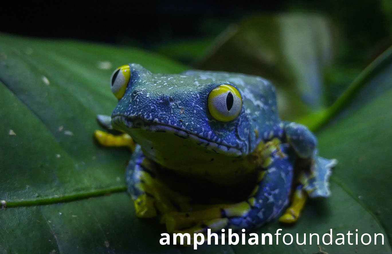 Fringed Leaf Frog