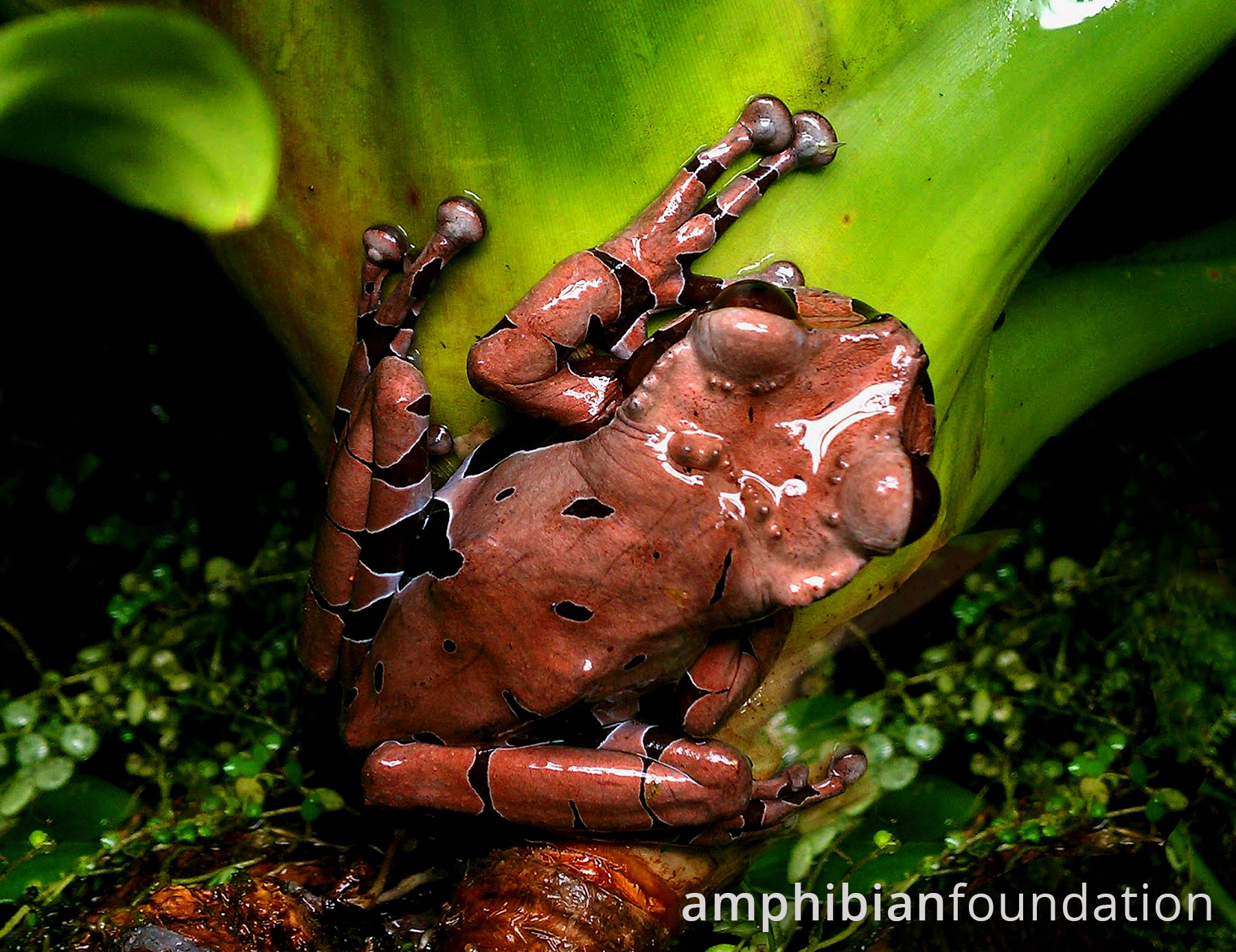 Crowned Tree Frog