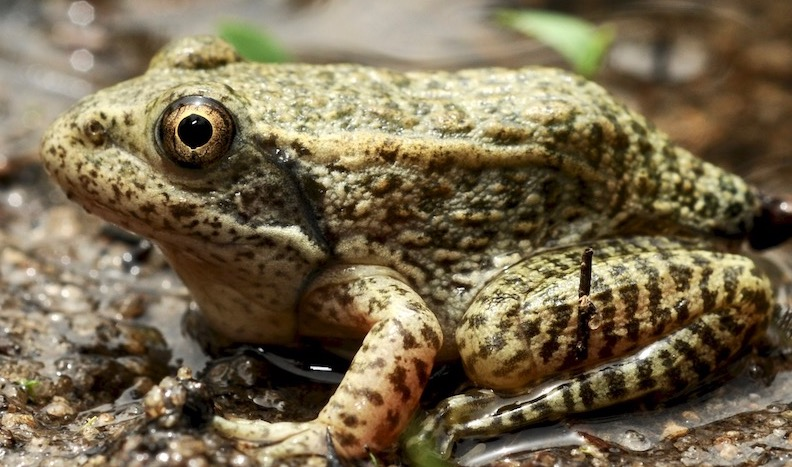 AF Conservation Research Bridge Program Discovers Three New Populations of Imperiled Georgia Amphibians