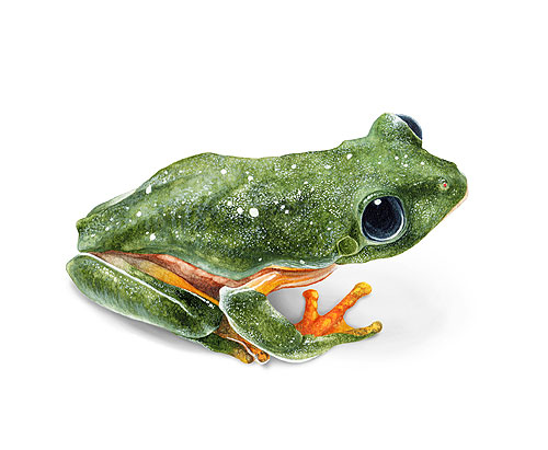 Black-eyed Leaf Frog