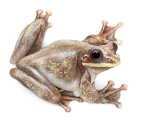 Rabbs' Fringe-limbed Tree Frog