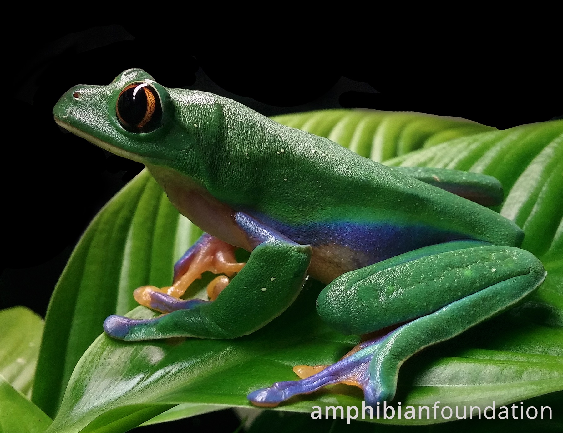 Blue-sided Leaf Frog