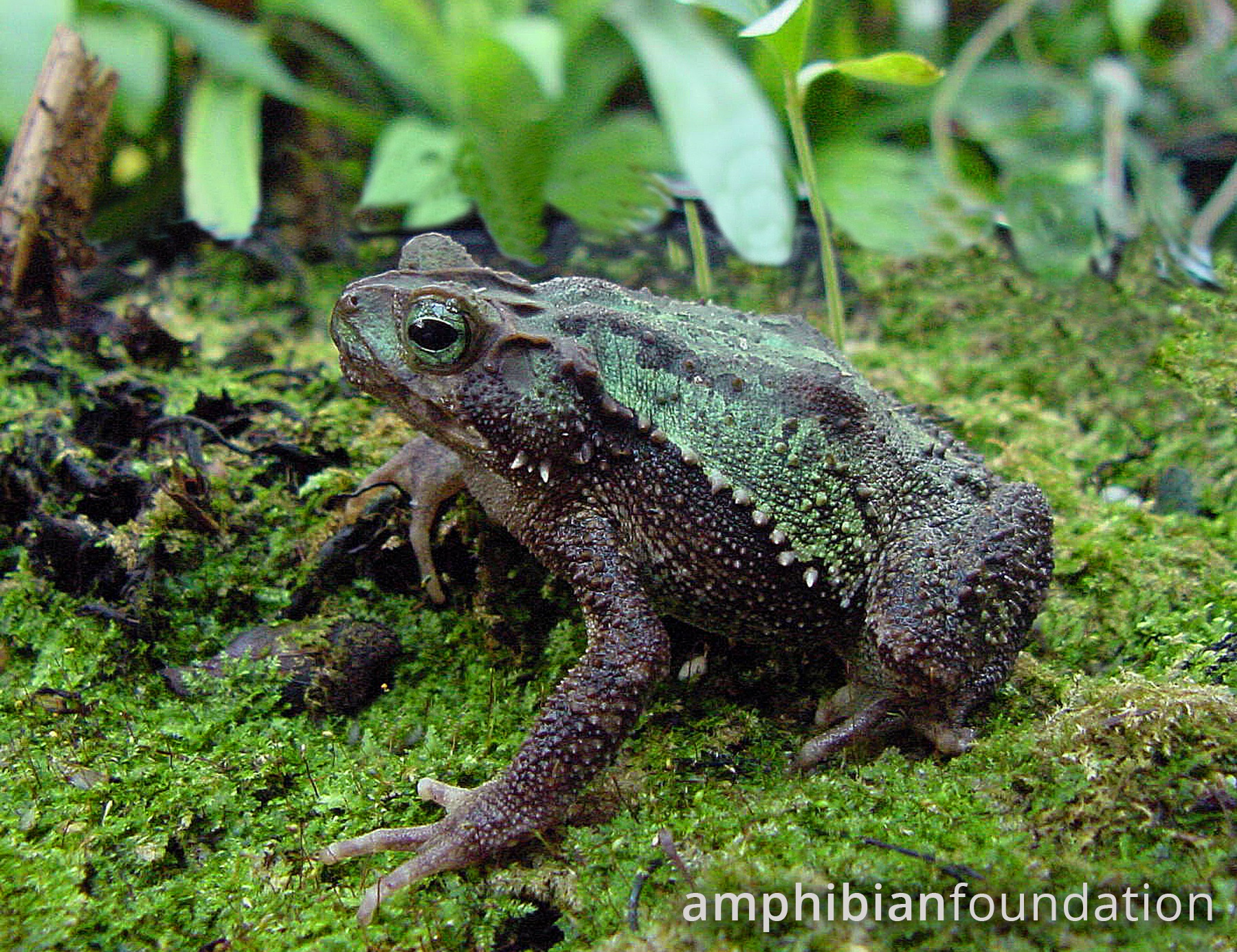 Amphibian Foundation Research And Conservation